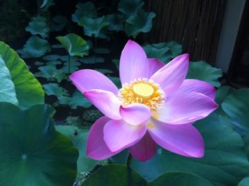Lotusblommor växer ut gyttjan.